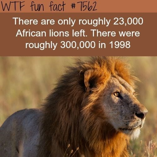 sad fact about lions that there are only 23,000 lions left and in 1998 there was 300,000 lions