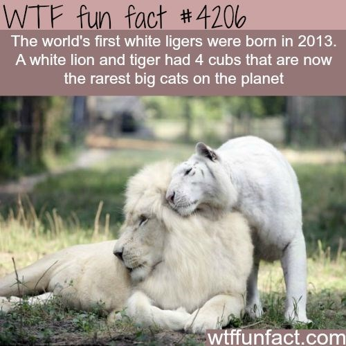white lion and tiger made the first ligers