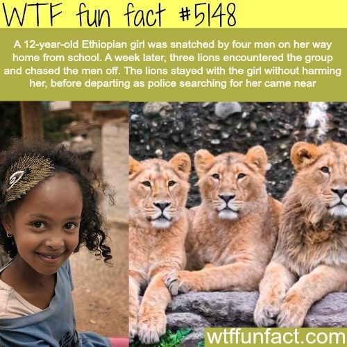 lions that saved a little Ethiopian girl from four men
