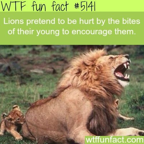 fun fact about lions and how they fake being hurt by the little bite of lion cubs in order to encourage them