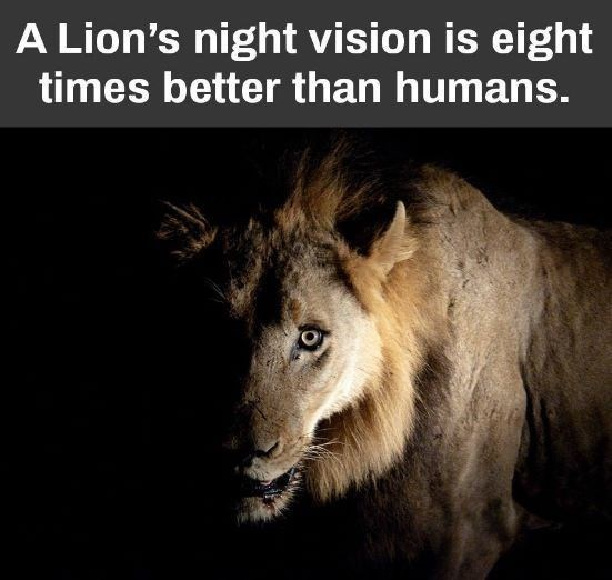 fun fact about lion night vision being 8 times better than human sight