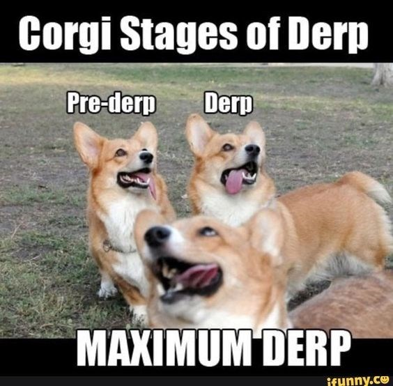 Dog - Corgi Stages of Derp Pre-derp Derp MAXIMUM DERP ifynny.co