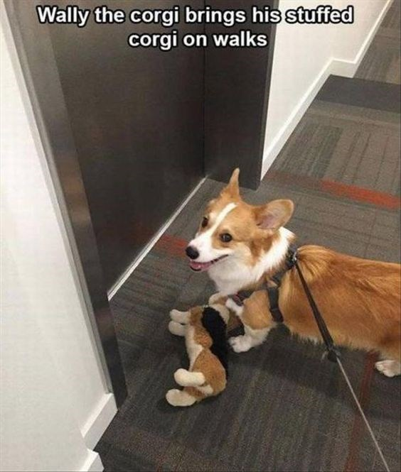 Dog - Wally the corgi brings his stuffed corgi on walks