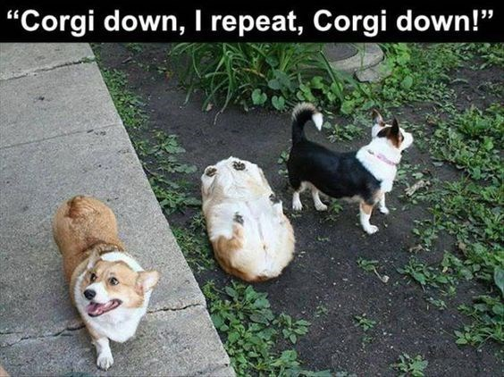 "Dog - ""Corgi down, I repeat, Corgi down!"""