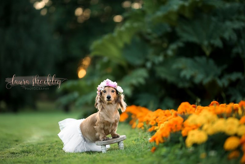 dog maternity photo shoot