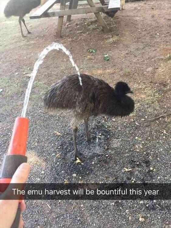 snapchat - Flightless bird - The emu harvest will be bountiful this year