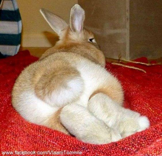 Domestic rabbit - www.facebook com/Vlaam Tommie