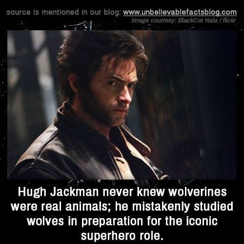 Photo caption - source Is mentioned in our blog: www.unbelievablefactsblog.com Image courtesy: BlackCat Nala/flickr Hugh Jackman never knew wolverines were real animals; he mistakenly studied wolves in preparation for the iconic superhero role.