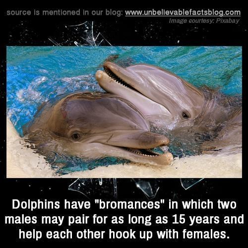 """Bottlenose dolphin - source is mentioned in our blog: www.unbellevablefactsblog.com Image courtesy: Pixabay Dolphins have """"bromances"""" in which two males may pair for as long as 15 years and help each other hook up with females."""