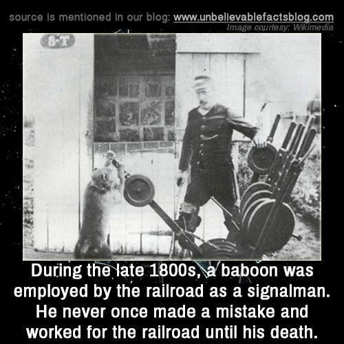 Photo caption - source Is mentioned in our blog: www.unbellevablefactsblog.com Image courtesy: Wikimedia 8-T During the late 1800s, a baboon was employed by the railroad as a signalman. He never once made a mistake and worked for the railroad until his death.
