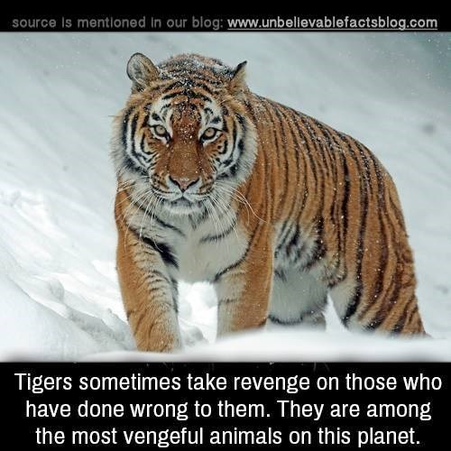 Tiger - source Is mentioned in our blog: www.unbellevablefactsblog.com Tigers sometimes take revenge on those who have done wrong to them. They are among the most vengeful animals on this planet.