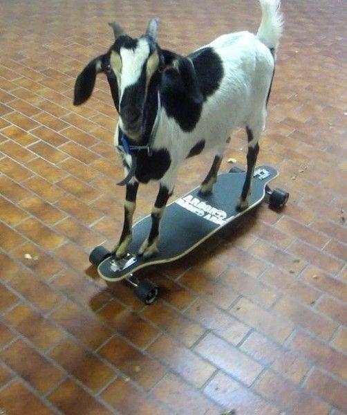 Goats - 4REORS DA