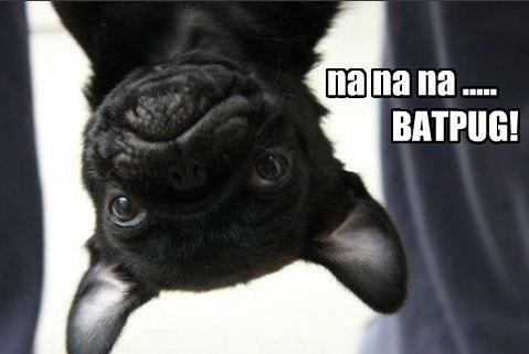 meme - Pug - nana na.. BATPUG!