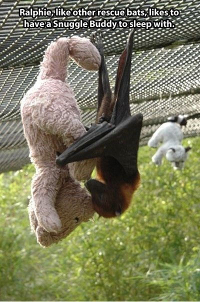 meme - Adaptation - Ralphie,like other rescue bats likesto have a Snuggle Buddy to sleep with