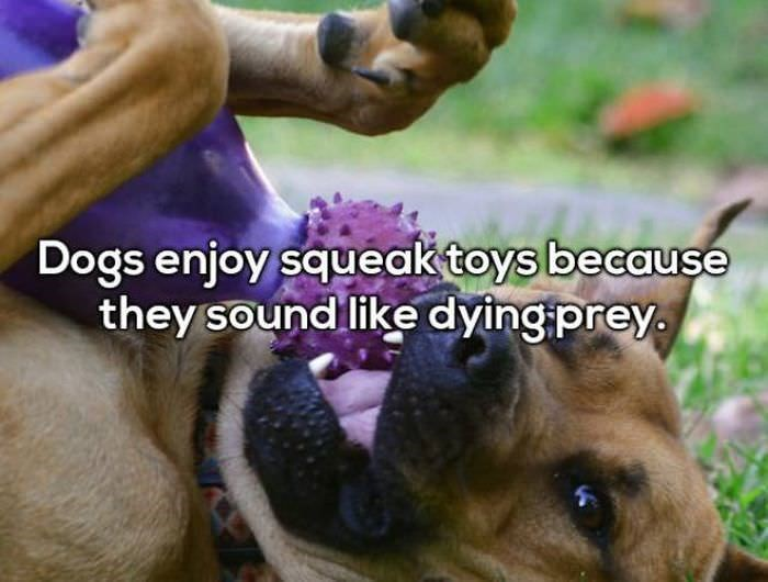 Mammal - Dogs enjoy squeak toys because they sound like dying prey.