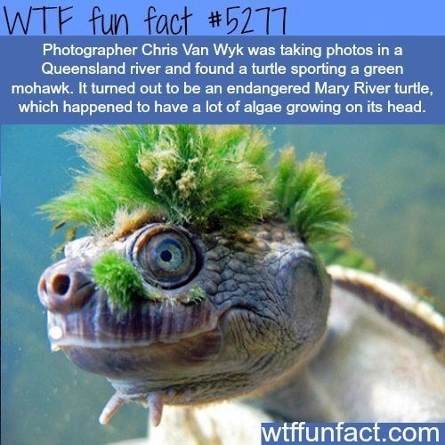 Organism - WTF fun fact #5211 Photographer Chris Van Wyk was taking photos in a Queensland river and found a turtle sporting a green mohawk. It turned out to be an endangered Mary River turtle, which happened to have a lot of algae growing on its head. wtffunfact.com