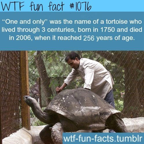 "Tortoise - WTF fun fact #0T6 ""One and only' was the name of a tortoise who lived through 3 centuries, born in 1750 and died in 2006, when it reached 256 years of age. wtf-fun-facts.tumblr"