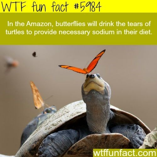 Organism - WTF fun fact #5984 In the Amazon, butterflies will drink the tears of turtles to provide necessary sodium in their diet. wtffunfact.com