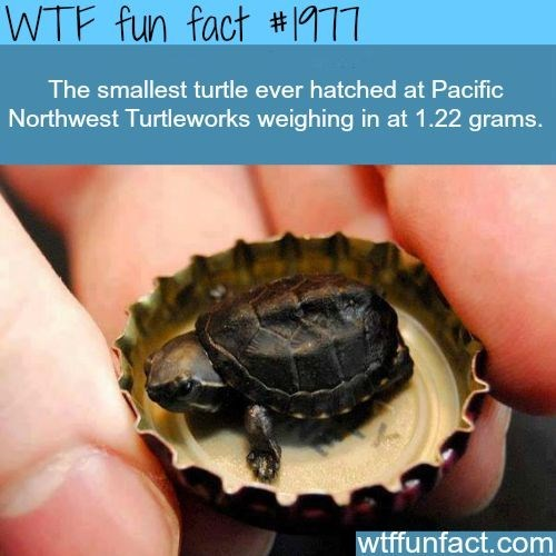 Kinosternidae - WTF fun fact # 1 The smallest turtle ever hatched at Pacific Northwest Turtleworks weighing in at 1.22 grams. wtffunfact.com