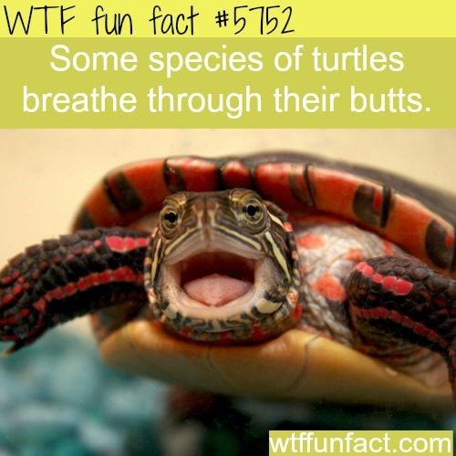 Reptile - WTF fun fact #5152 Some species of turtles breathe through their butts. wtffunfact.com