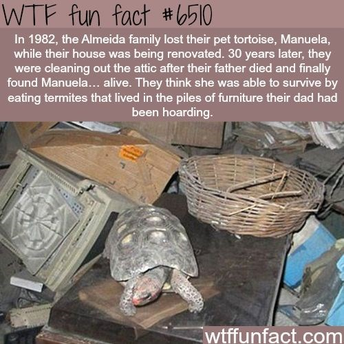 Turtle - WTF fun fact #1510 In 1982, the Almeida family lost their pet tortoise, Manuela, while their house was being renovated. 30 years later, they were cleaning out the attic after their father died and finally found Manuela... alive. They think she was able to survive by eating termites that lived in the piles of furniture their dad had been hoarding. wtffunfact.com