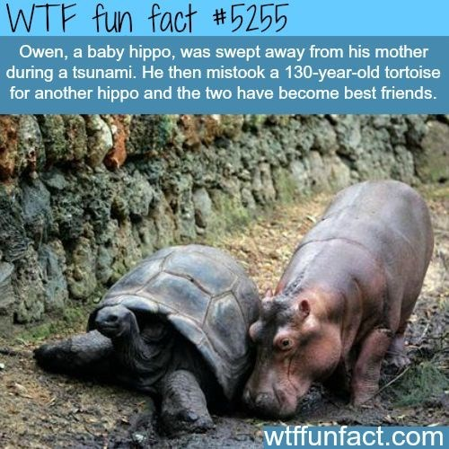 Vertebrate - WTF fun fact #5255 Owen, a baby hippo, was swept away from his mother during a tsunami. He then mistooka 130-year-old tortoise for another hippo and the two have become best friends. wtffunfact.com