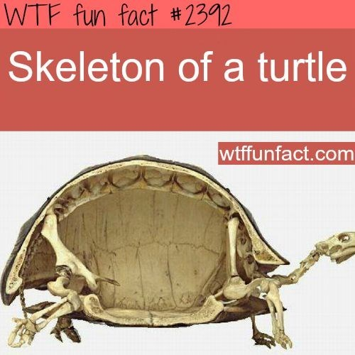 Turtle - WTF fun fact # 2392 Skeleton of a turtle wtffunfact.com