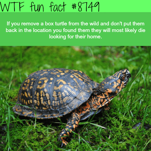 Pond turtle - WTF fun fact #874 If you remove a box turtle from the wild and don't put them back in the location you found them they will most likely die looking for their home.