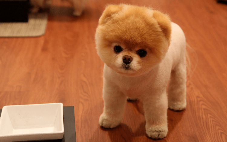 9 Totally Cute Pomeranian Haircut Styles To Satisfy Your Craving For Fluffiness Today I Can Has Cheezburger