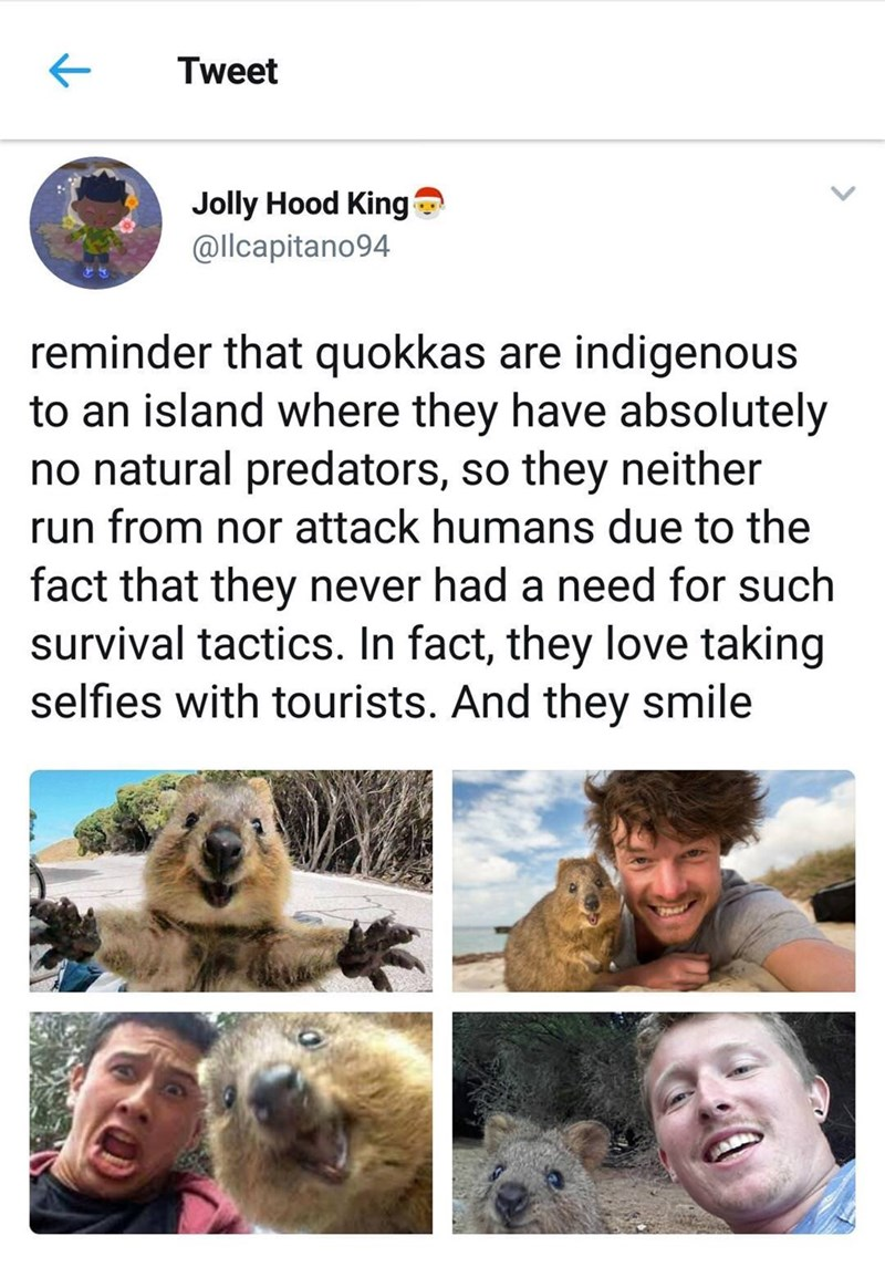 wholesome meme - Adaptation - Tweet Jolly Hood King @llcapitano94 reminder that quokkas are indigenous to an island where they have absolutely no natural predators, so they neither run from nor attack humans due to the fact that they never had a need for such survival tactics. In fact, they love taking selfies with tourists. And they smile