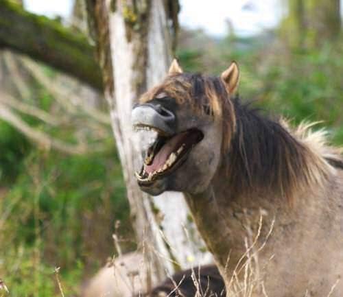 memes - Vertebrate horse smiling