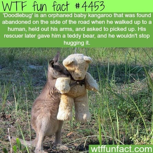 Adaptation - fact #4453 WTF fun 'Doodlebug' is an orphaned baby kangaroo that was found abandoned on the side of the road when he walked up to a human, held out his arms, and asked to picked up. His rescuer later gave him a teddy bear, and he wouldn't stop hugging it. wtffunfact.com