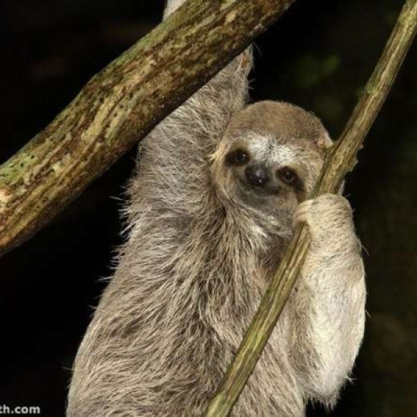 sloth smile - Three-toed sloth - th.com