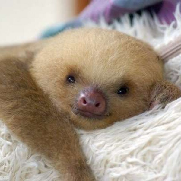 sloth smile - Mammal