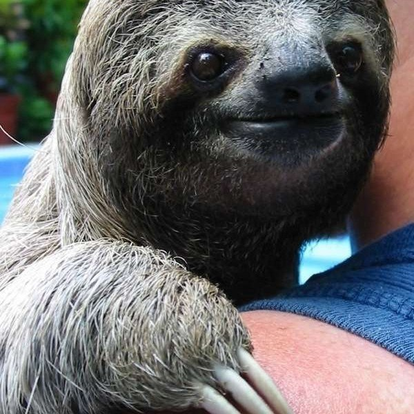 sloth smile - Vertebrate