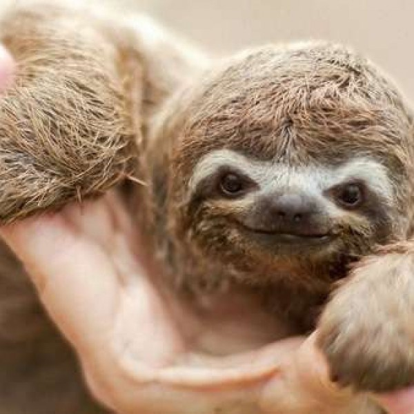 sloth smile - Three-toed sloth