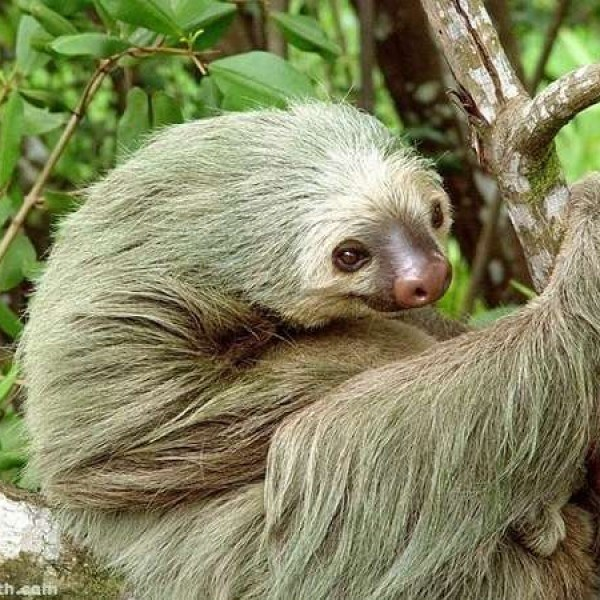 sloth smile - Vertebrate - h sath