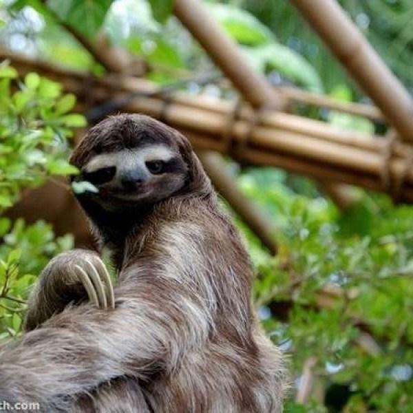 sloth smile - Vertebrate - h.com