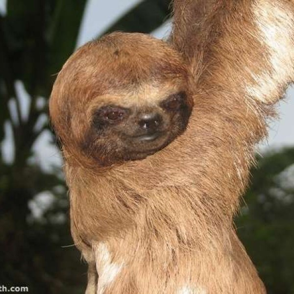 sloth smile - Vertebrate - th.com
