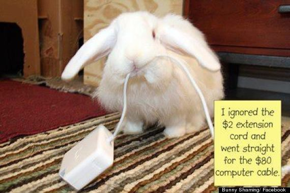Domestic rabbit - I ignored the $2 extension cord and went straight for the $80 computer cable. Bunny Shaming/ Facebook