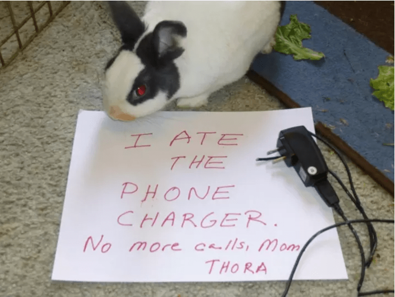 Domestic rabbit - I ATE THE PHONE CHARGER No more c//s, Mom THORA