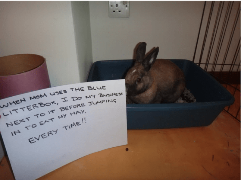 Domestic rabbit - WHEN MOM USES THE BLUE LITTERBOX, I Do mY BUSINESS NEXT TO IT BEFORE JUMPING IN TO EAT MY HAY EVERY TIME!!
