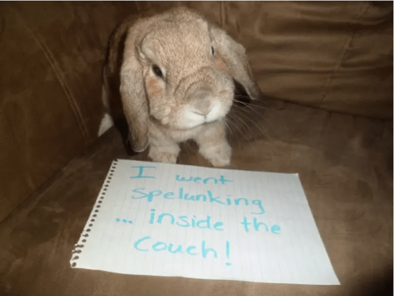 Domestic rabbit - I wernt Spelunking inside thne Couch