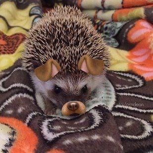 dog filter animals - Erinaceidae - lorndean