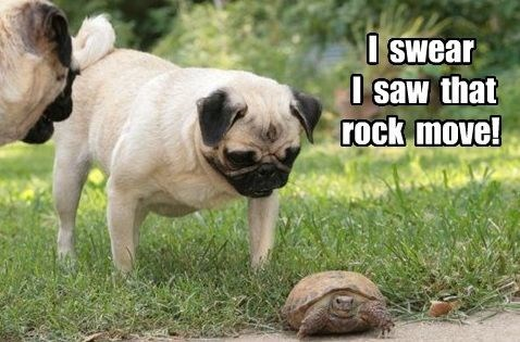 Pug - I swear I saw that rock move!