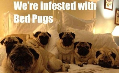 Dog - We're infested with Bed Pugs