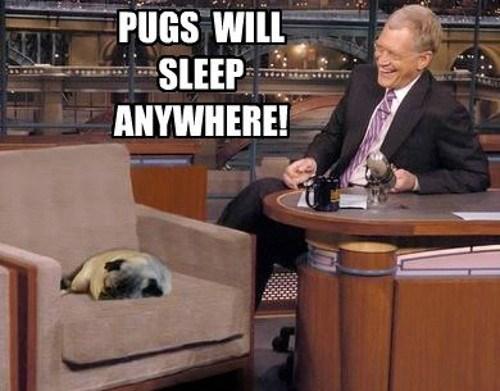 News - PUGS WILL SLEEP ANYWHERE!