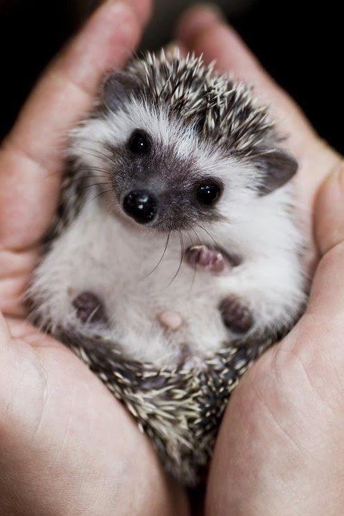 cute animals - Erinaceidae