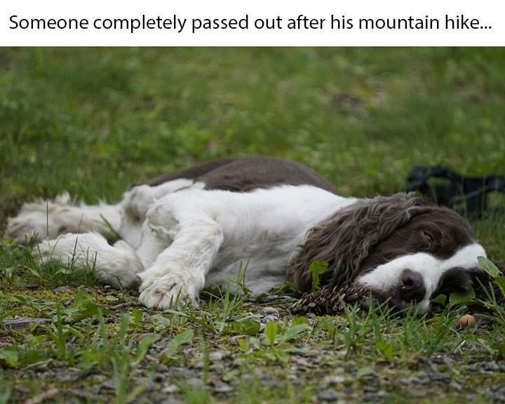 dog memes - Vertebrate - Someone completely passed out after his mountain hike...