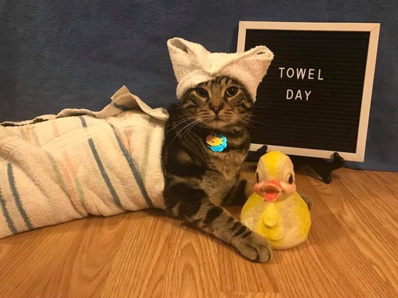 Cat wrapped in a towel for Towel Day